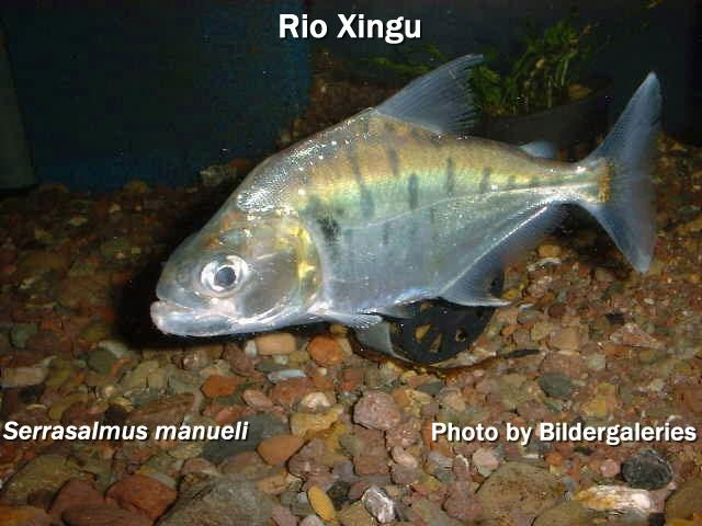 Serrasalmus manueli, Manuel's Piranha or Green Tiger Piranha