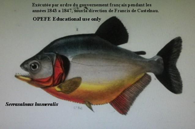 Piranha representative species for Fish representative species