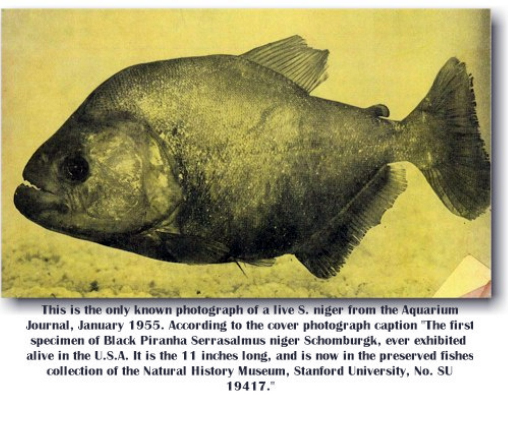 Photo is property of the Aquarium Journal Jan. 1955. Not for use outside of OPEFE.