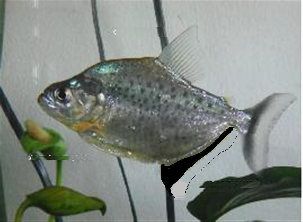 Example only of S. nigricauda. Photo property of Owen Sherlock, OPEFE Use only, Photo modified to show what Burmeister piranha looked like.