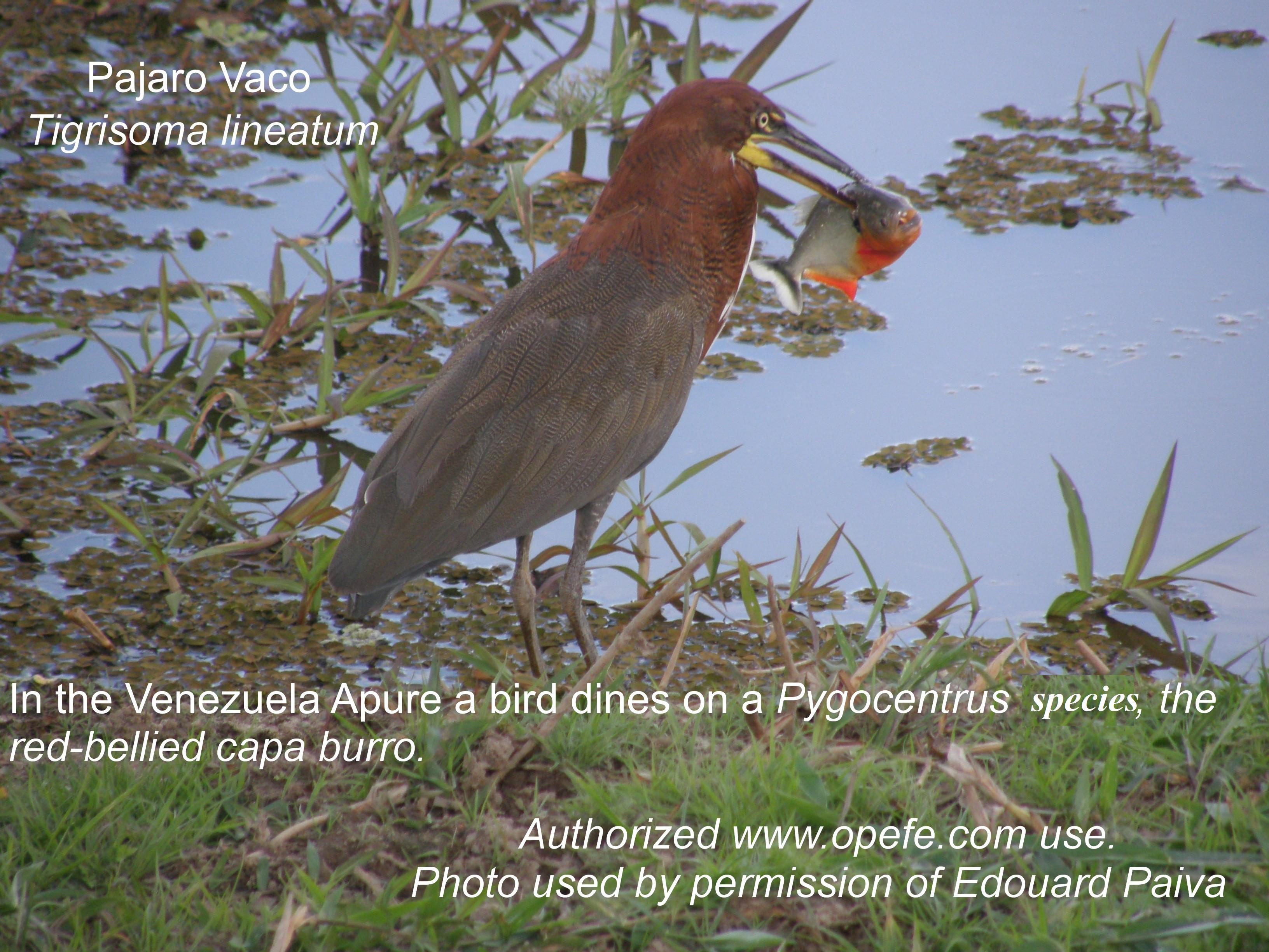 Bird feeding on Pygocentrus speceis in Venezuela. Photo credit Edouardo Paiva