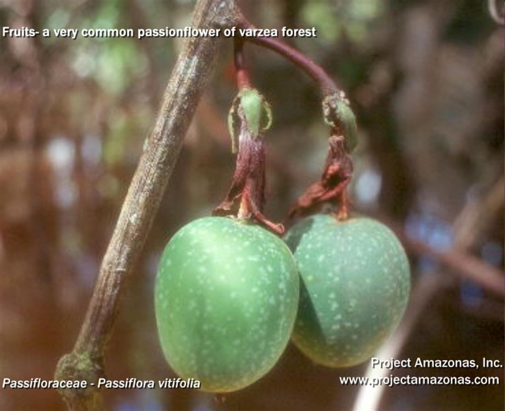 Passiflora_vitifolia_02.jpg