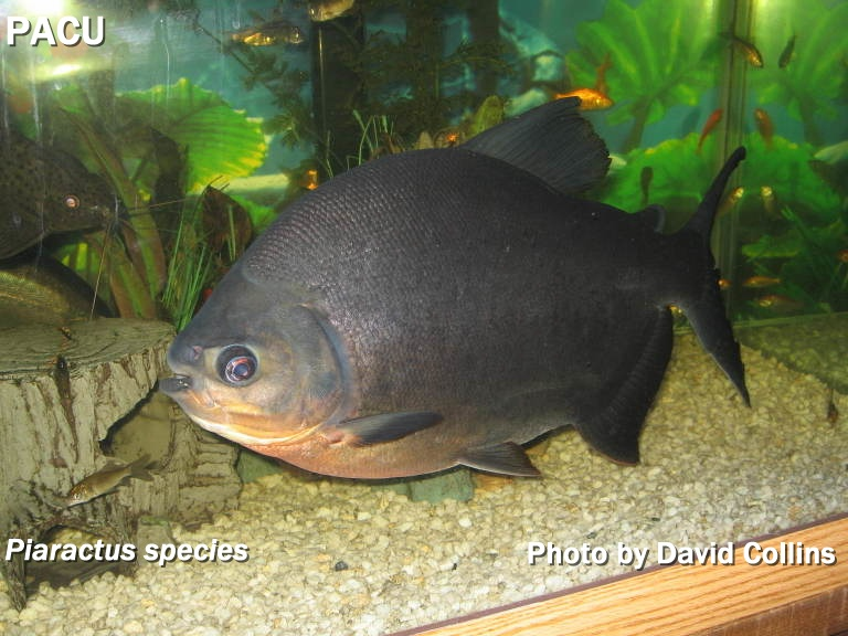 HOW TO IDENTIFY PIRANHA FROM A PACU