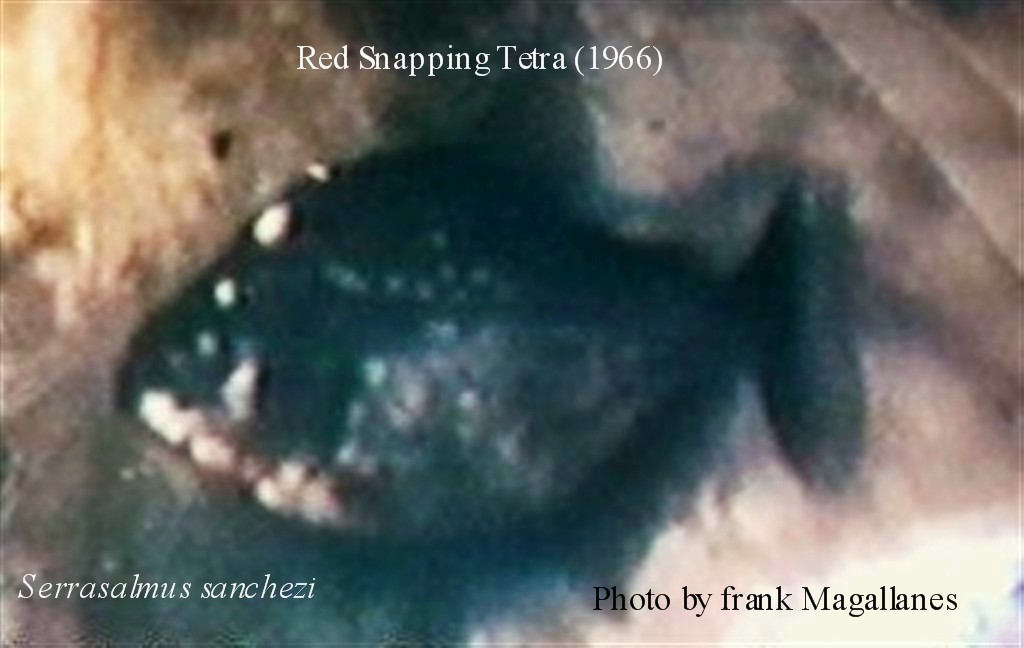 Actual photograph of 1966 S. sanchezi being sold as Red Snapping Tetra.