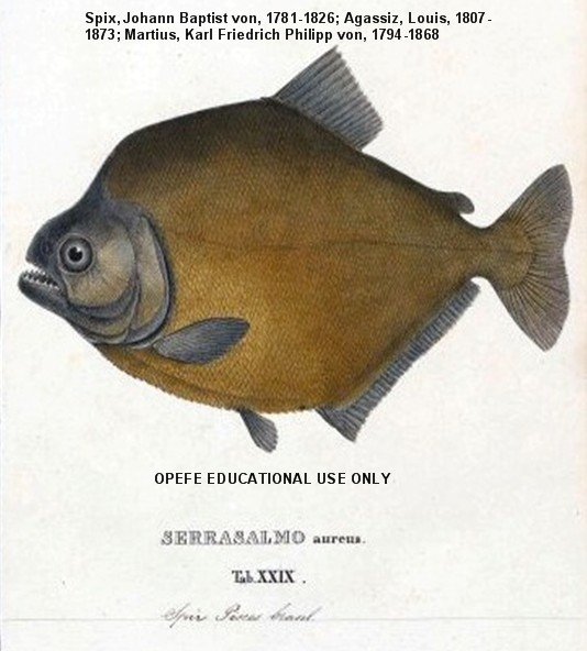 piranhas essay Over 30 species of piranhas (family: characidae ground with sand papers from 800 to 4000grid, and a varian excalibur 3100 ftir spectro-.