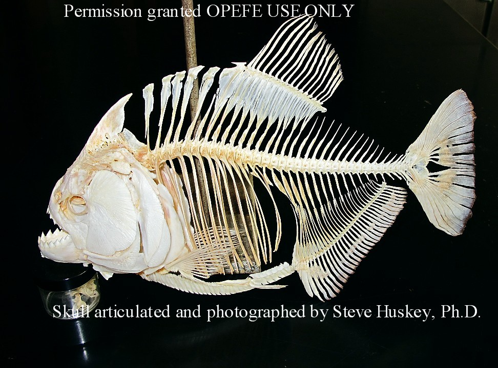 Skull articulated and photographed by Steve Huskey, Ph.D.