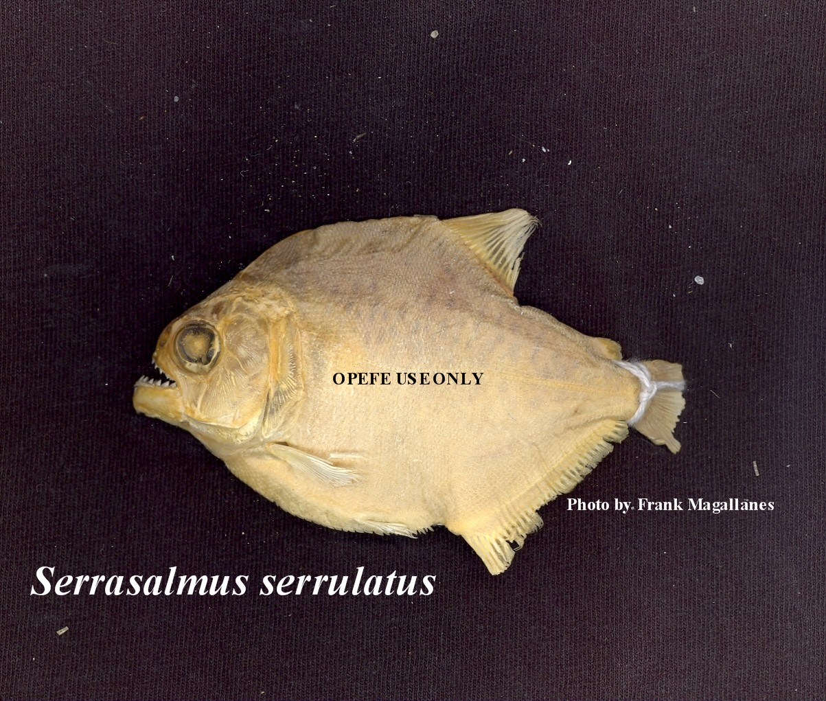 Dry specimen. Serrasalmus serrulatus. Photo by Frank Magallanes