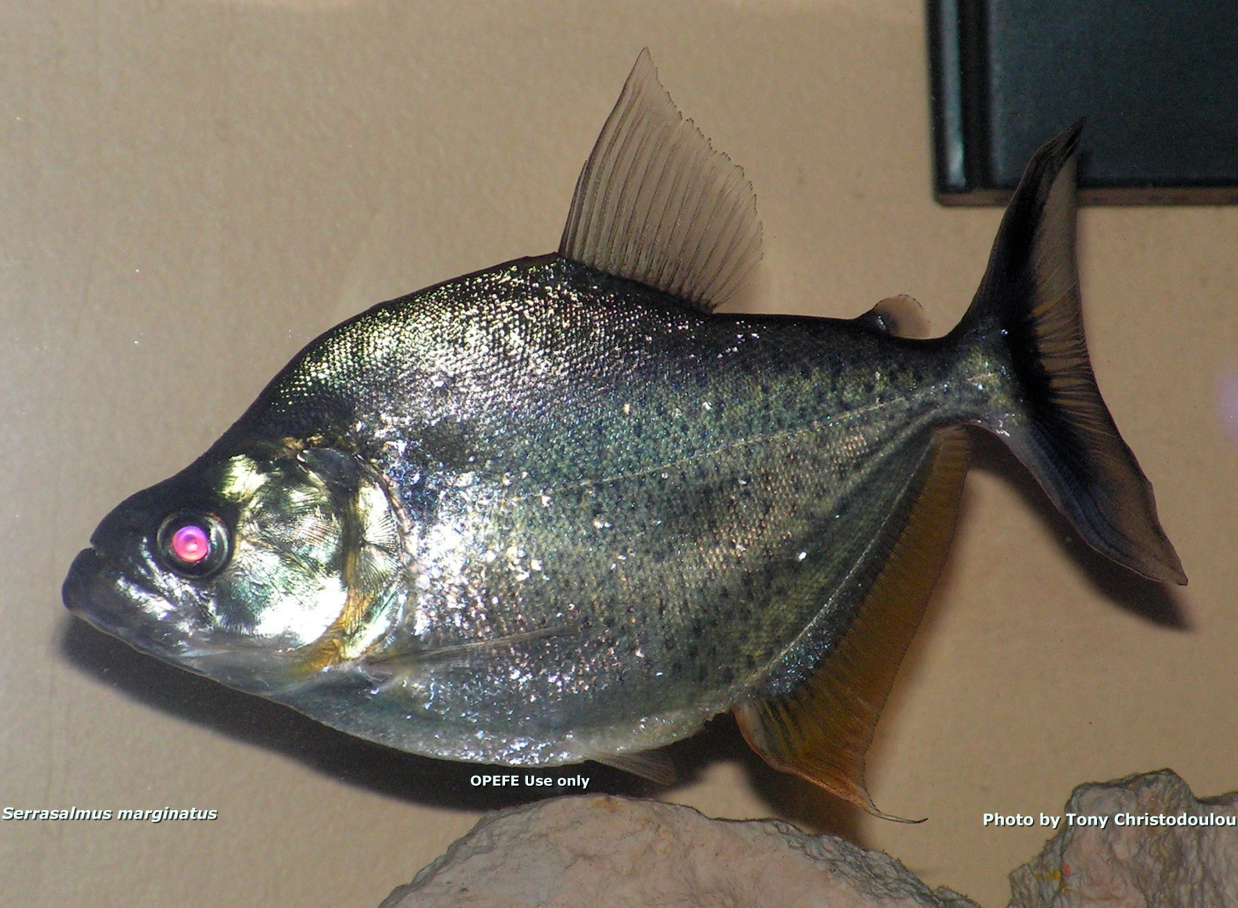 Serrasalmus Marginatus Spotted Piranha