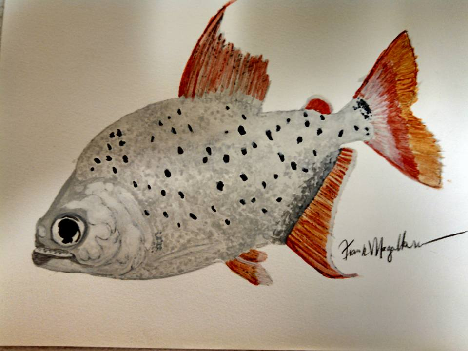 Water color painting P. careospinus by Frank Magallanes. NOT FOR SALE