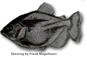 Drawing by Frank Magallanes OPEFE