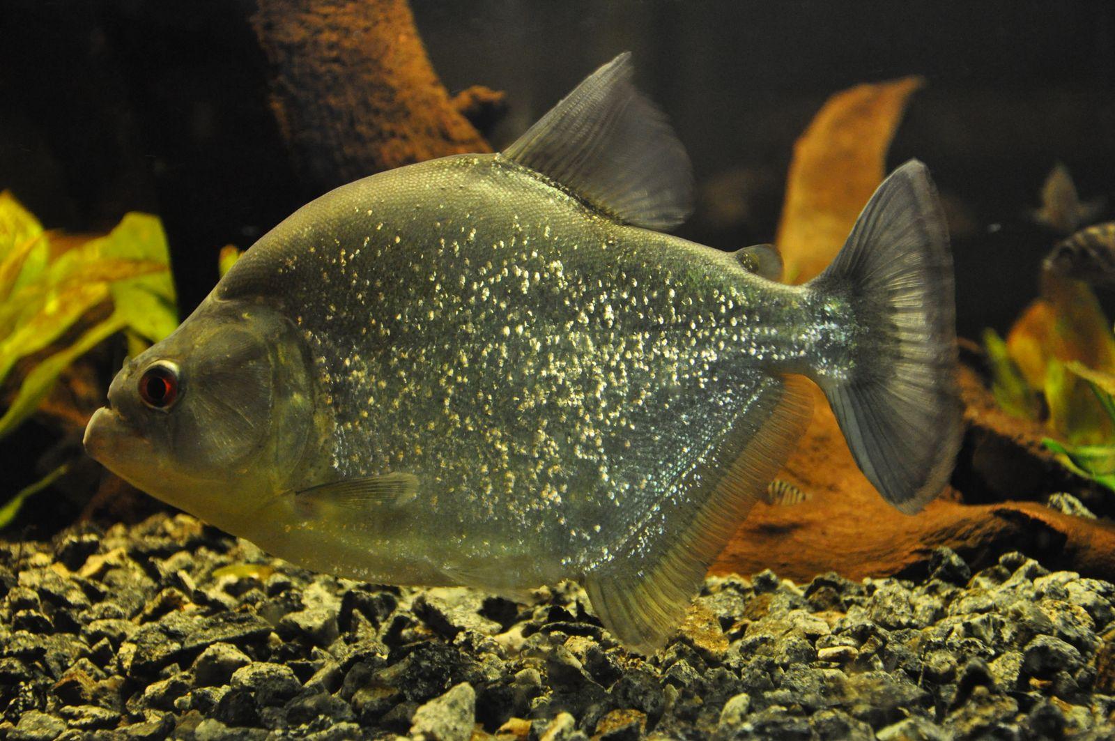 Black Piranha / Serrasalmus rhombeus 38 cm - YouTube