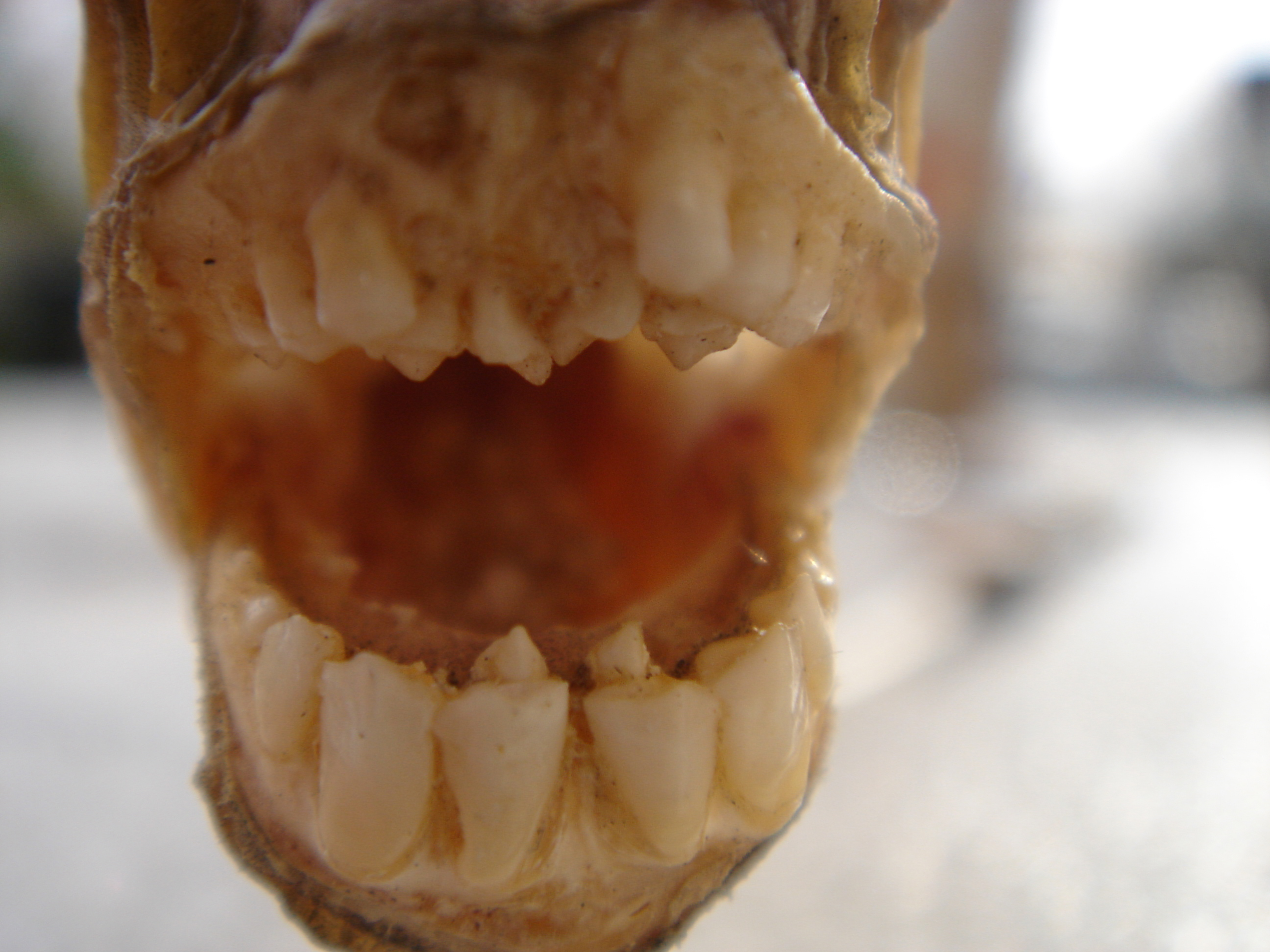 Assorted pacu silver dolar teeth for Pacu fish teeth