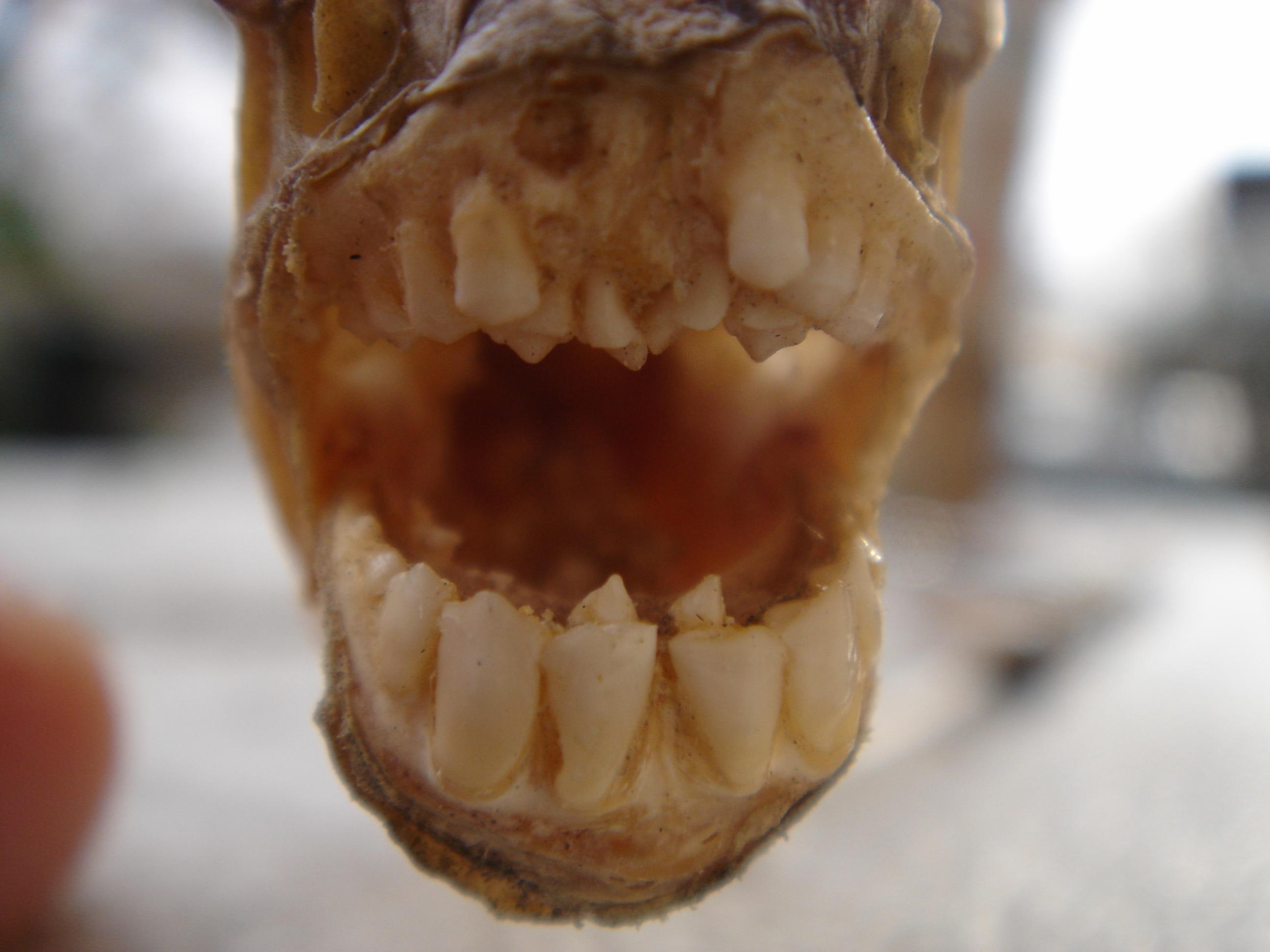 Pics for pacu fish teeth for Pacu fish teeth