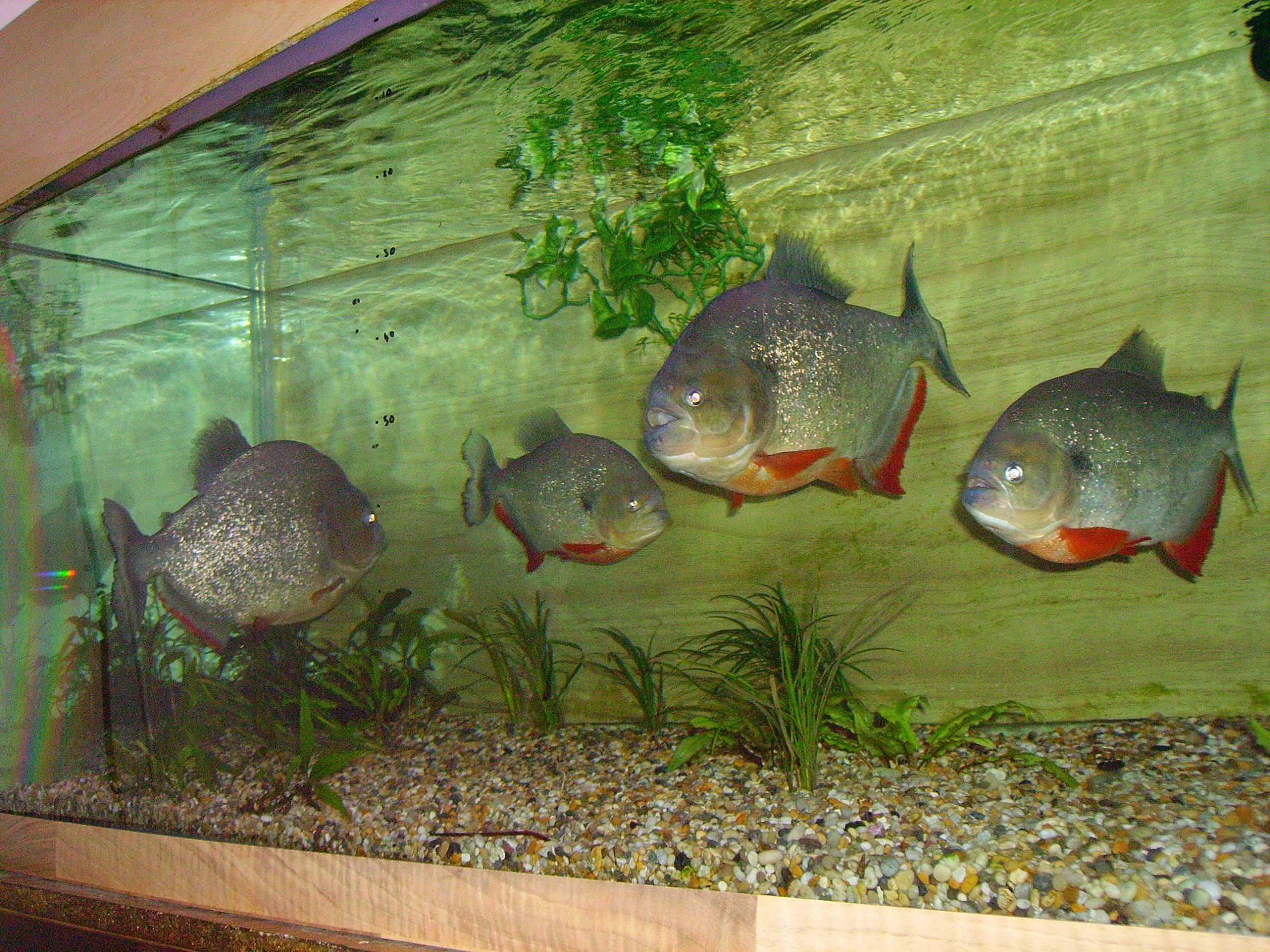Piranha Aquarium Fish 1000 Aquarium Ideas