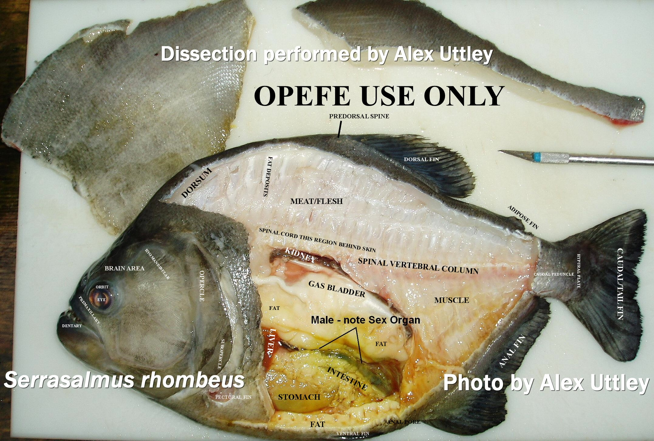 Serrasalmus rhombeus disseciton. OPEFE USE ONLY