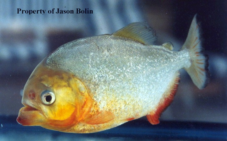 Yellow bellied piranha (P. nattereri).